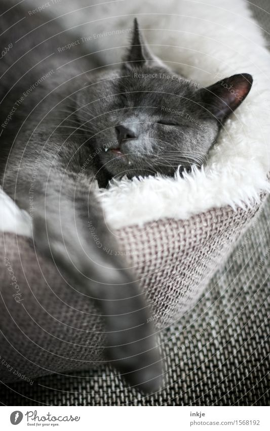 When he sleeps... Pet Cat Animal face Cat's head Domestic cat 1 Love and security Cushion Sleep Cuddly Soft Emotions Moody Contentment Safety (feeling of)