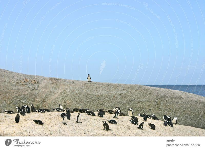 the audience is listening Penguin Beach Rock South Africa Cute Speech Animal Water Ocean Nature Blue sky Small Mammal