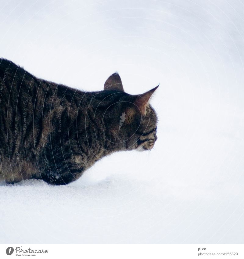 "Lunes ""happy"" in the snow Cat Winter Observe Animal Pet Hunting Cold Trust Snow small animal mackerelled"