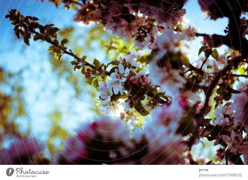apple blossom Nature Plant Sky Sunlight Spring Beautiful weather Tree Blossom Fruit trees Apple tree Apple blossom Blossoming Blue Green Pink Spring fever