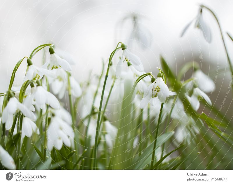 snowdrops Garden Valentine's Day Mother's Day Easter Nature Plant Spring Winter Flower Leaf Blossom Wild plant Snowdrop Spring flowering plant Park Bouquet
