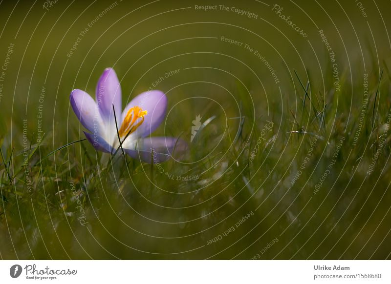 Crocus in the grass Elegant Garden Valentine's Day Mother's Day Easter Nature Plant Earth Sunlight Spring Beautiful weather Flower Grass Blossom Park Meadow
