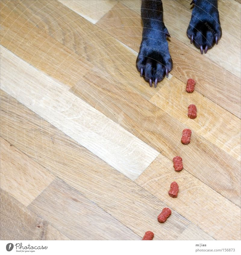 Tracking dog. Dog Weimaraner Paw Claw Feed Nutrition Appetite Meal Floor covering Red Wood Delicious Animal Mammal tia