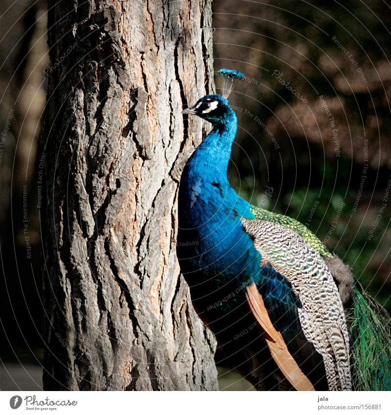 Beauty in Blue Peacock Bird Feather Head Eyes Animal Beautiful Esthetic Pride Looking Beak Tree