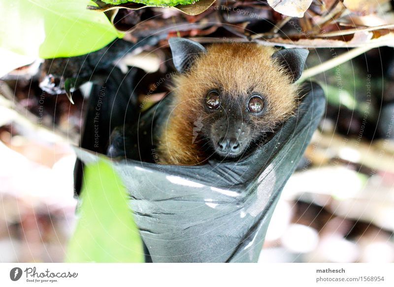 Nature Green Animal Black Small Brown Elegant Free Wild animal Wing Pelt Animal face Bat Old World fruit bats