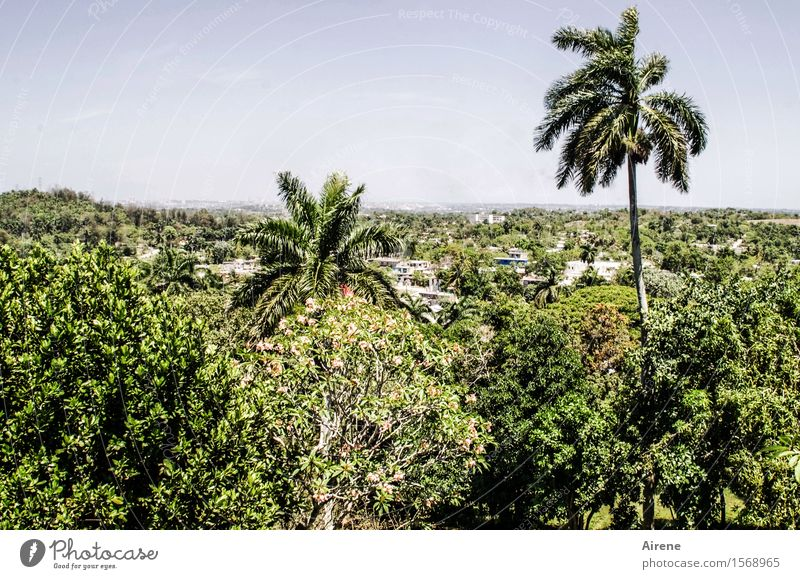jutting Landscape Sky Climate Beautiful weather Plant Tree Exotic Palm tree Forest Virgin forest Havana Cuba Hot Bright Maritime Positive Dry Blue Green Level