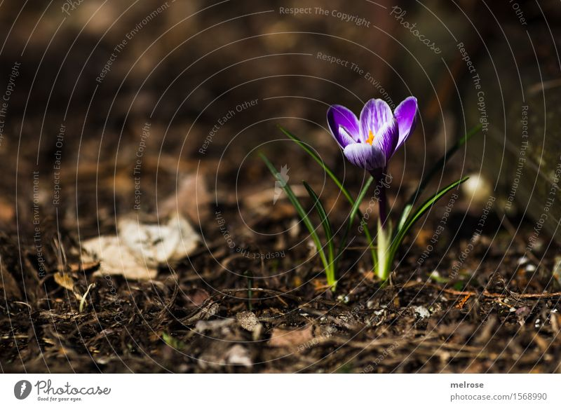 We did it! Elegant Style Nature Earth Spring Beautiful weather Plant Flower Leaf Blossom Wild plant Crocus Bulb flowers Flowering plant Spring flowering plant