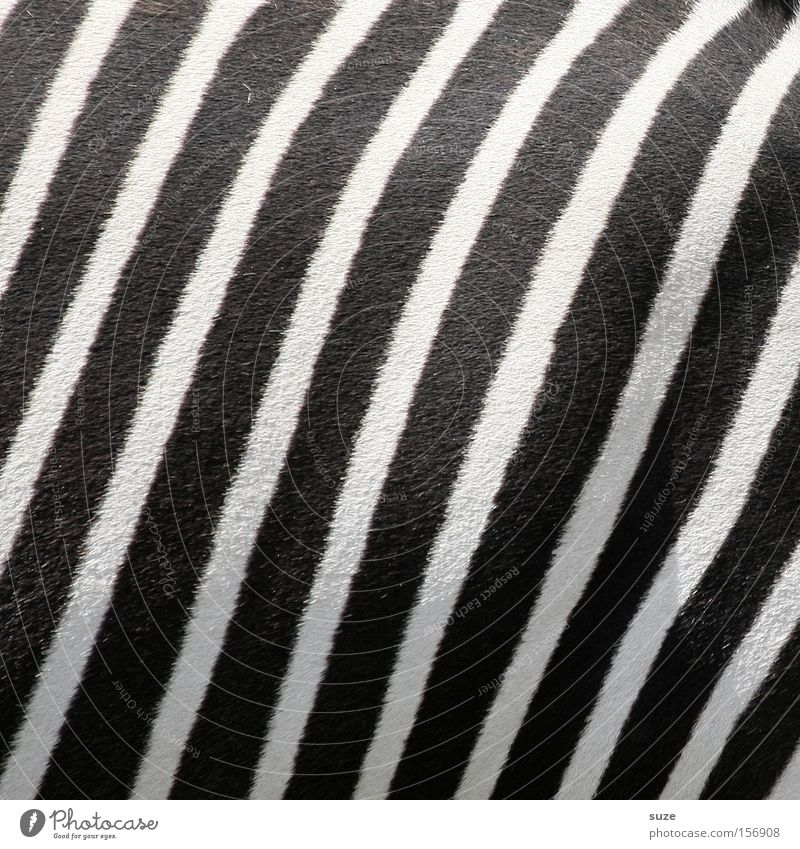 Black & White Animal Wild animal Zebra Zebra crossing 1 Line Stripe Camouflage Mammal Pelt Striped Black & white photo Exterior shot Close-up Detail Pattern