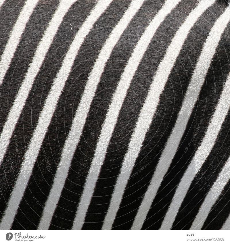 White Animal Black Line Wild animal Stripe Pelt Mammal Striped Camouflage Zebra Zebra crossing Black & white photo