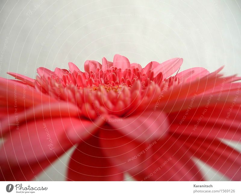 gerbera Plant Flower Blossom Gerbera Esthetic Fresh Positive Pink Red Emotions Joie de vivre (Vitality) Sympathy Romance Beautiful Fragrance Elegant Colour