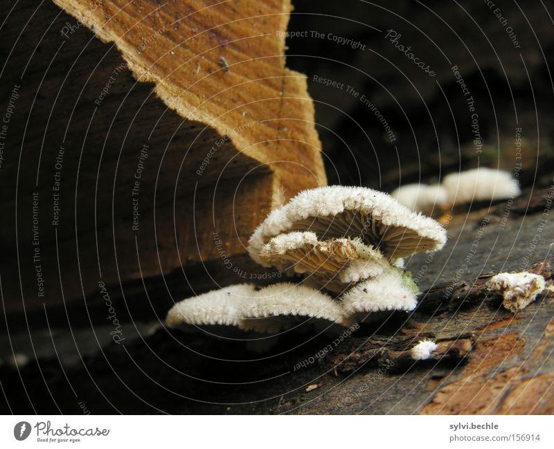 noch´n pils(z)? - SECOND Autumn Tree Wood Brown White Poison Mushroom Tree trunk Disk Pelt Tree bark Firewood Damp Colour photo Exterior shot Close-up Detail