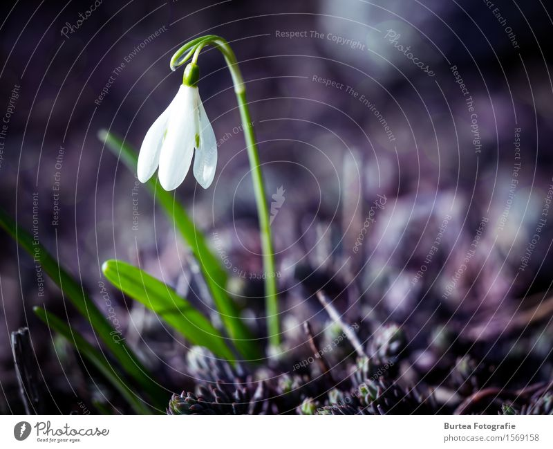 Better days will come Environment Plant Spring Blossom Snowdrop galanthus Garden Beautiful Green Violet White 2016 March springtime Colour photo Exterior shot