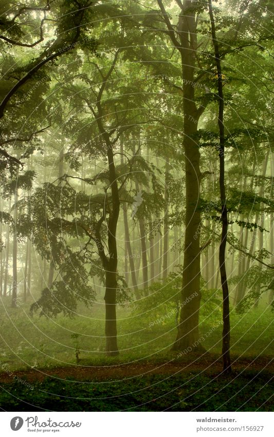 skog Forest Fog Tree Leaf Mystic Calm Relaxation Wood Virgin forest Fairy tale Magic Green Romance Enchanting