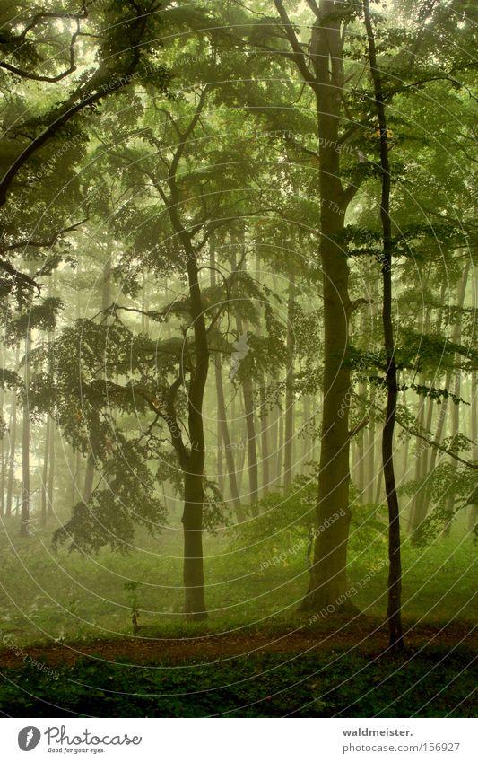 Tree Green Calm Leaf Forest Relaxation Wood Fog Romance Virgin forest Mystic Fairy tale Magic