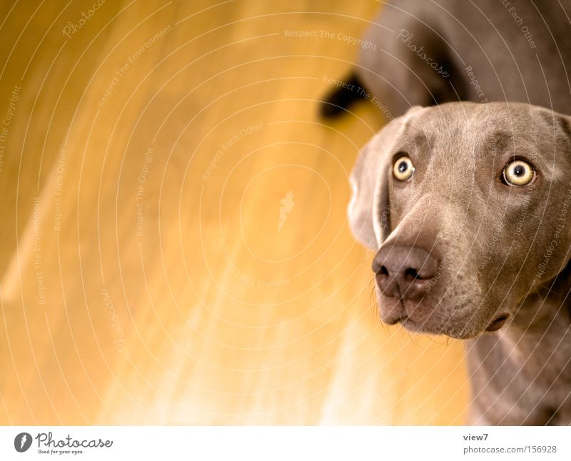 Eyes Dog Concentrate Watchfulness Pet Mammal Snout Partially visible Section of image Attentive Animal Hound Beg Weimaraner Watchdog Dog's snout