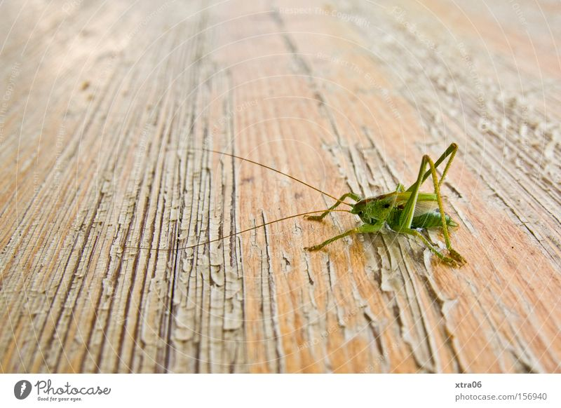 Summer Table Insect Living thing Wooden table Ale bench House cricket