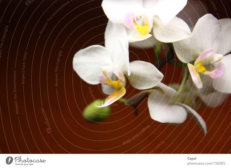 Set in the light Orchid White Root Air Bud Stalk Wall (building) Colour Green thumb Thumb Ochrides phalaenopsis Blossom risp