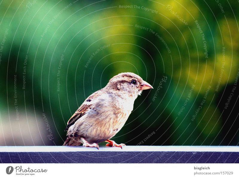Green Eyes Animal Garden Park Bird Small Feather Handrail Beak Feeble Fragile Bridge railing Sparrow