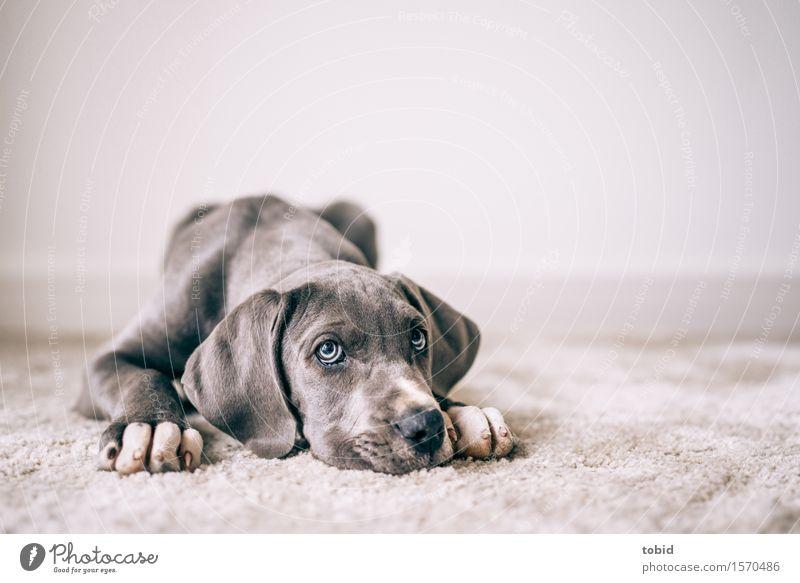 Dog Animal Lie Observe Pet Boredom Paw Carpet Loyalty Snout Rest Mastiff Lop ears