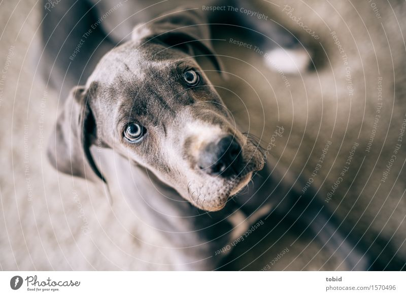 Master floppy ear Pt.11 Animal Pet Dog Animal face Observe Lie Cuddly Gray Great Dane Snout Carpet Lop ears Ear Colour photo Interior shot Close-up Deserted