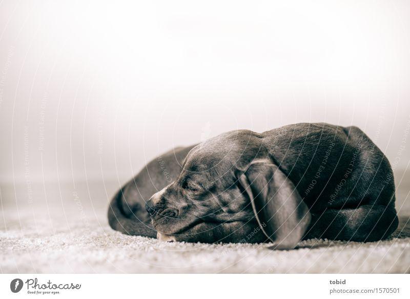 Dog Animal Baby animal Sleep Pet Carpet Peaceful Rest Mastiff