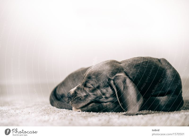 Master floppy ear Pet Dog 1 Animal Sleep Rest Mastiff Baby animal Peaceful Carpet Colour photo Interior shot Close-up Shallow depth of field Animal portrait