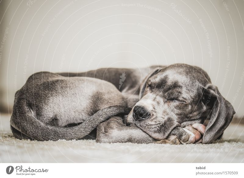 Dog Relaxation Baby animal Contentment Sleep Pelt Pet Peaceful Mastiff Stationary Lop ears Convoluted