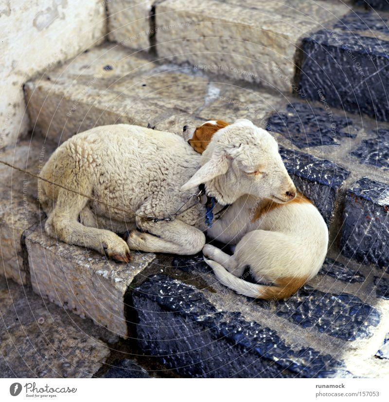 True love Animal Soft Sheep Lamb Wool Vulnerable Innocent Together Love Mammal Peace little Cute step Infancy Delightful