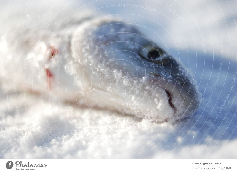 Dead fish Fish Winter Death Snow Ice Eyes Blue White Mouth Ocean Estonia Tallinn Colour Cold