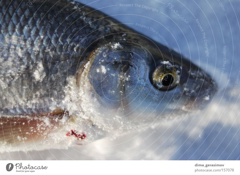 Dead fish Fish Winter Death Snow Ice Eyes Blue White Mouth Ocean Estonia Tallinn Navigation Cold