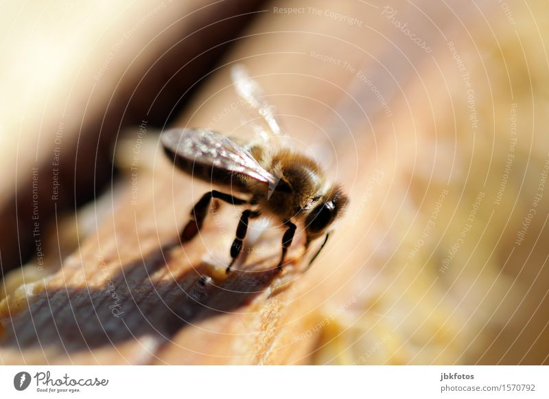 honey bee Food Nutrition Joy Happy Beautiful Leisure and hobbies Environment Nature Climate Beautiful weather Animal Farm animal Bee Honey bee 1 Flock