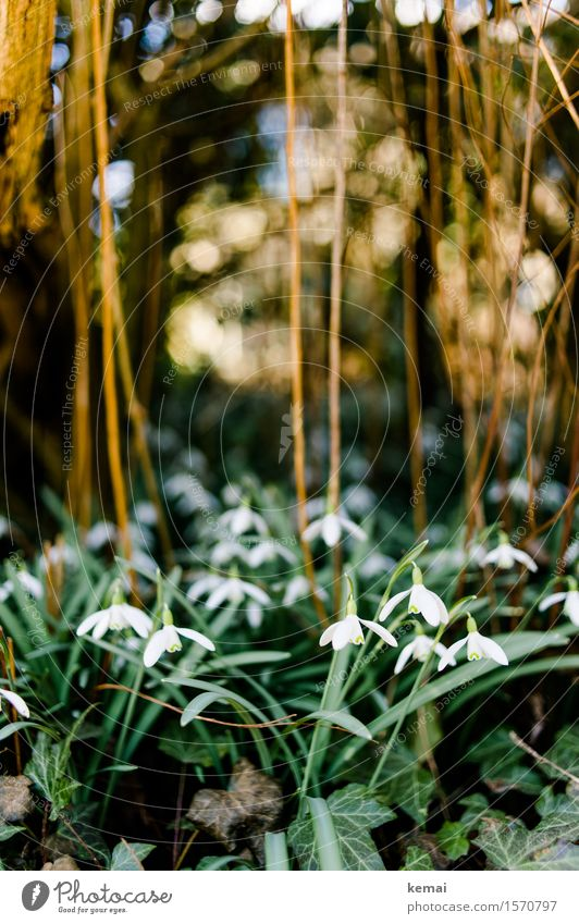Snowdrops II Environment Nature Plant Sunlight Spring Beautiful weather Bushes Leaf Blossom Foliage plant Ivy Blossoming Growth Friendliness Fresh