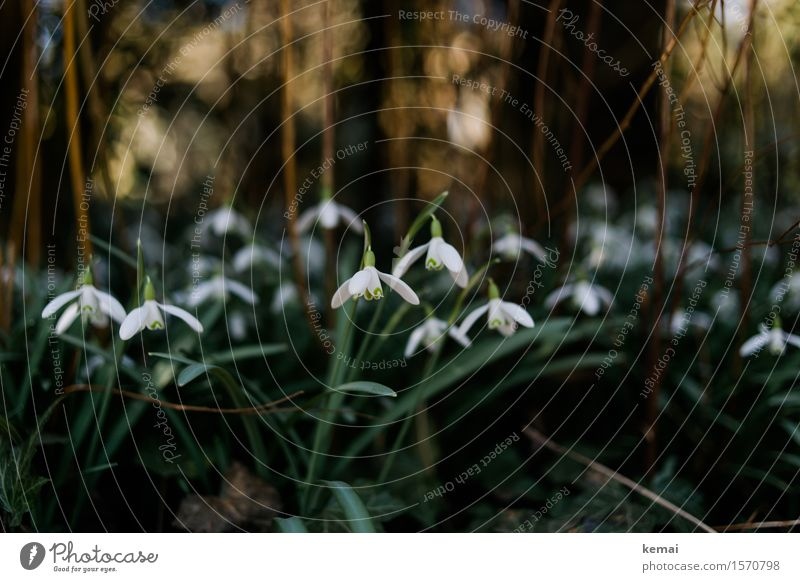snowdrops Environment Nature Plant Sunlight Spring Beautiful weather Leaf Blossom Wild plant Snowdrop Meadow Blossoming Growth Friendliness Fresh Green White