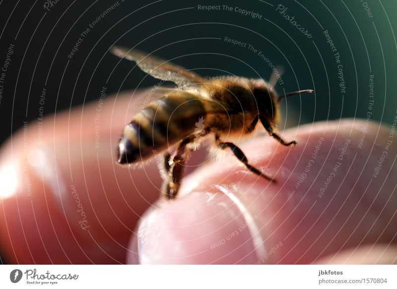 tame bee Food Honey Honey bee Nutrition Environment Nature Beautiful weather Animal Pet Farm animal Bee Wing 1 Uniqueness Eroticism Flying Bee-keeping Thorn