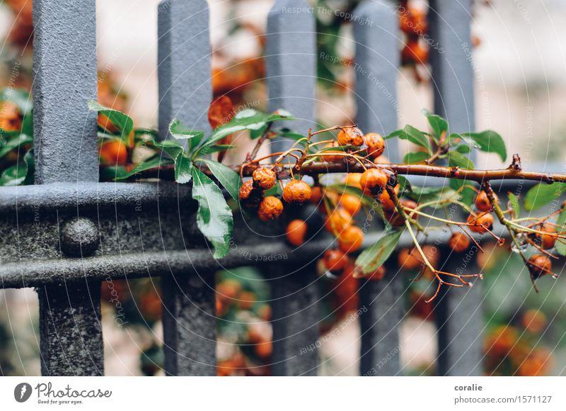 autumnless Autumn Bushes Leaf Garden Park Wet Orange Berries Berry bushes Fence Growth Pervasive Autumnal Harvest Thanksgiving Branch Fruit Suspended Rain