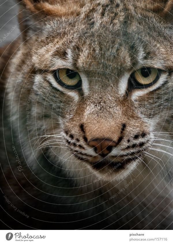 Bad mood? Animal Cat Dangerous Lynx Big cat Eyes Hypnotic Fix Europe Mammal pischarean Looking