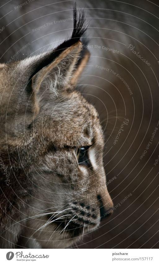 Luxury Lynx Animal Cat Listening Concentrate Big cat Ear Mammal Europe pischarean Silhouette