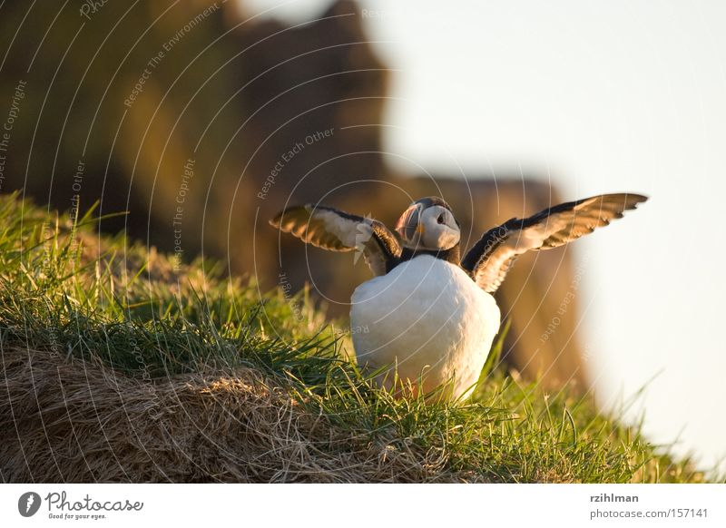puffins Grass Iceland Puffin Beak Animal Bird Auks The Arctic Green alcoholic Lunde charadriiformes fratercula Plover-like Colour