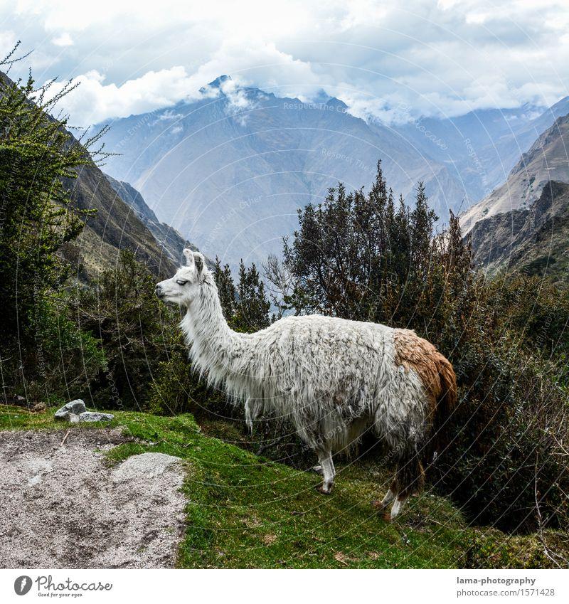 Lama's Lama Vacation & Travel Tourism Adventure Expedition Camping Mountain Nature Landscape Machu Pichu Peru South America Animal Llama Alpaca 1 Inca