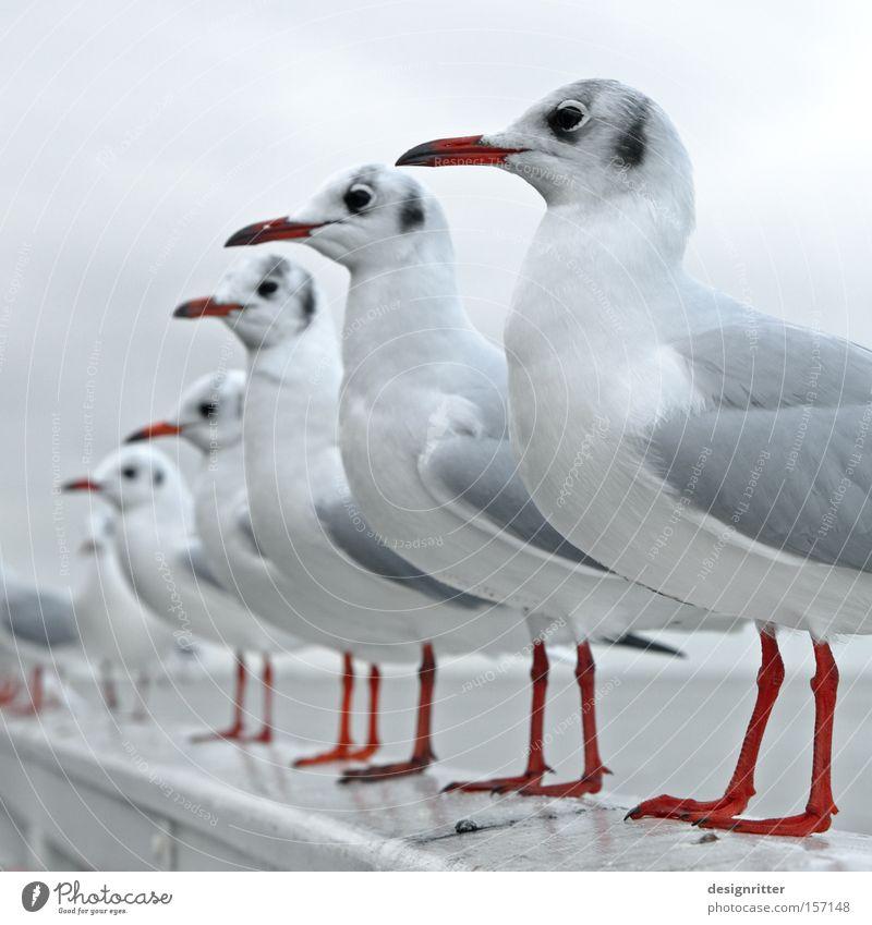 Ocean Bird Wait Arrangement Observe Appetite Row Seagull Expectation North Sea Animal Row of seats Queue Feeding Feed Avaricious