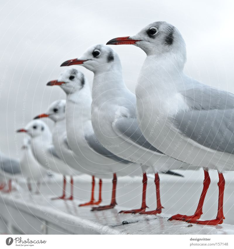Ocean Bird Wait Arrangement Observe Appetite Row Seagull Expectation North Sea Animal Row of seats Queue Feeding Avaricious