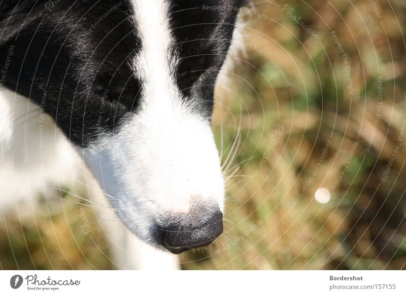 Top heavy Dog Black White Snout Dog's snout Nose Meadow Grass Damp Line Painting and drawing (object) Pelt Green Autumn Head Mammal border collie