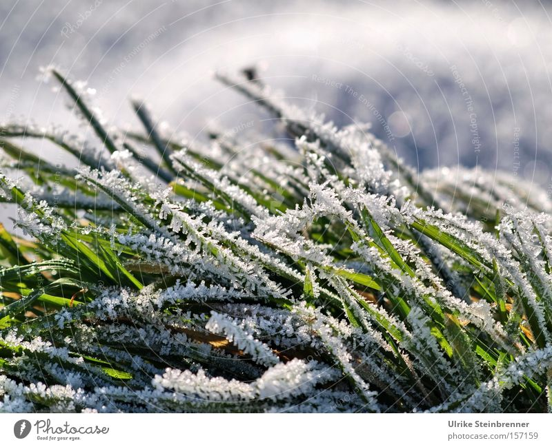 White hoarfrost on green grass Colour photo Exterior shot Close-up Macro (Extreme close-up) Day Sunlight Worm's-eye view Winter Snow Nature Plant