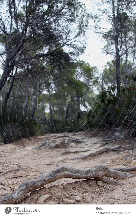 trip hazard Environment Nature Landscape Plant Earth Spring Tree Wild plant Root of a tree Stone pine Forest Island Majorca Lanes & trails Stand To dry up