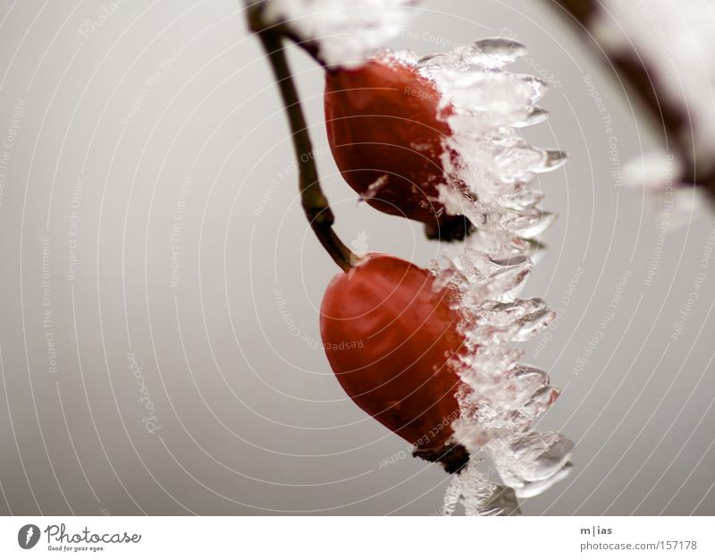 Nature Red Vacation & Travel Winter Cold Snow Ice Fruit Frozen Berries Flower Icicle Dog rose Natural phenomenon