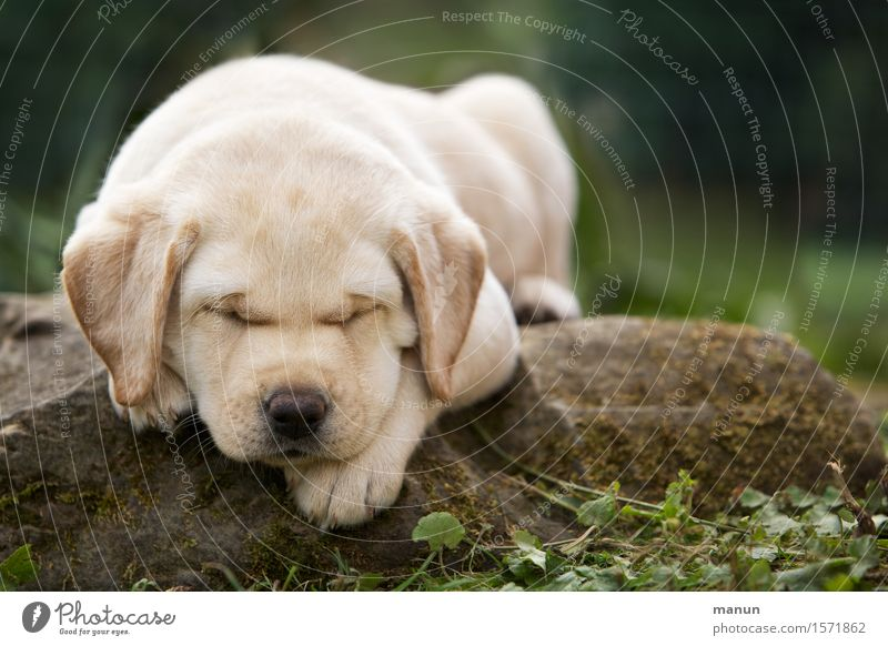 Dog Animal Baby animal Emotions Natural Healthy Happy Small Friendship Dream Blonde Happiness Joie de vivre (Vitality) Warm-heartedness Sleep Friendliness