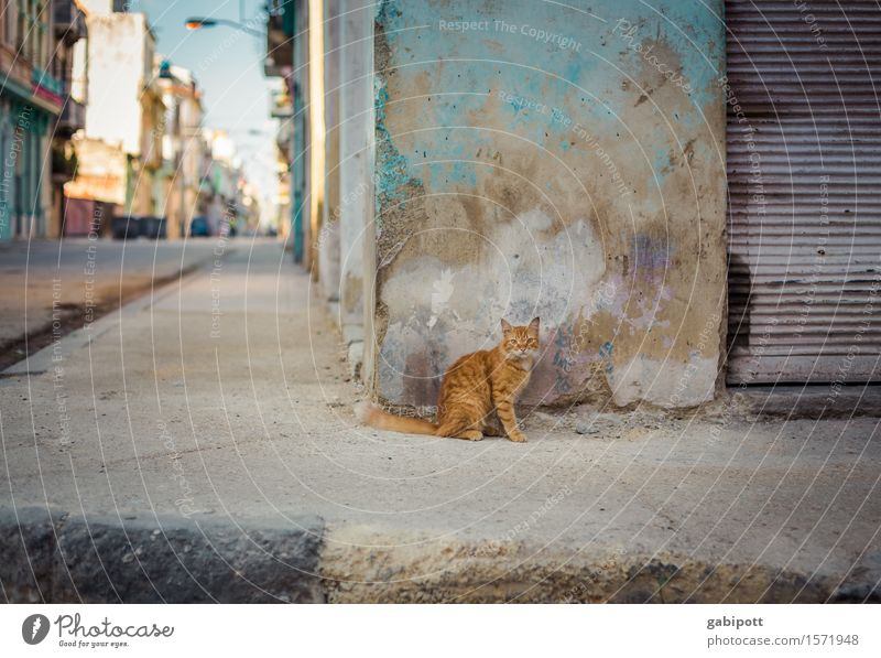 Cuban cat Havana Capital city Downtown Old town Wall (barrier) Wall (building) Facade Animal Pet Farm animal Cat 1 Observe Multicoloured Sympathy Uniqueness