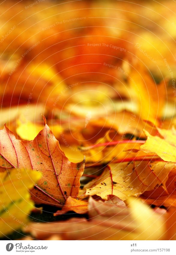Tree Leaf Yellow Autumn Gold Floor covering Point Seasons Carpet Vessel Maple leaf