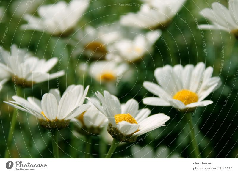 early blossoming Marguerite Flower Blossom Blossoming Spring Summer White Nature Blossom leave Green Fresh Expectation