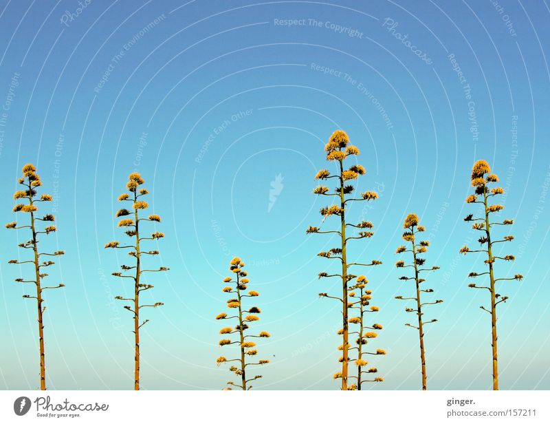 plunger Summer Nature Plant Sky Warmth Blossom Blossoming Growth Tall Blue Agave Greeny-yellow Progress Branched Blue sky Cloudless sky Copy Space top